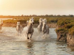 White Camargue Horses running on the beach in Parc Regional de Camargue - Provence, France; Shutterstock ID 325091081; PO: grafica boscolo; Job: vdb